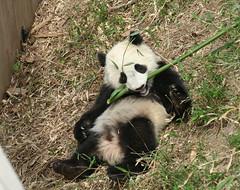 Mr. Cool guy again (somesai) Tags: zoo cub smithsonian panda tai nationalzoo endangered pandas meixiang taishan babyanimals dczoo butterstick pandaunlimited