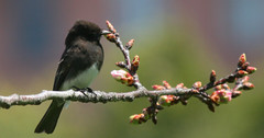black phoebe w/ buds