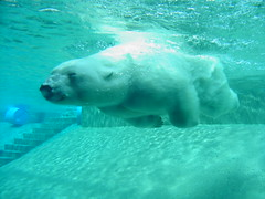 swimming polar bear.