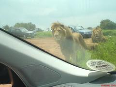 Hungry Lion (Tim Twelves) Tags: lionpark