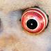 The mesmerising eyes of the evil monkey