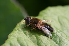 """hoverfly(15) • <a style=""""font-size:0.8em;"""" href=""""http://www.flickr.com/photos/57024565@N00/133347198/"""" target=""""_blank"""">View on Flickr</a>"""