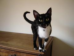 ;) (sosgatinhos) Tags: pet love cat furry kitten feline chat gato felino neko shelter filhote adoption adoo peludo adote abrigo animalwelfare catlover sosgatinhos