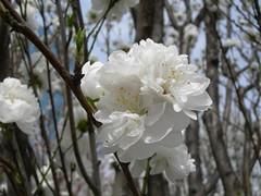 White Sakura (nekocon) Tags: lolita sakura hanami osakacastle