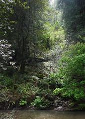 light through canopy (1600 Squirrels) Tags: california usa forest geotagged photo lenstagged flora 300d muirwoods marincounty 1600squirrels drebel sfbayarea nocal muirwoodsnationalmonument redwoodforest canon1855f3556 redwoodcreek geo:lat=378922 geo:lon=1225725 portraitorientation oddratio 3x42x3