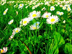 Looking to the sky (La Poto) Tags: flowers summer sun white milan flower verde green primavera grass yellow daisies spring milano erba giallo daisy fiori sole fiore prato bianco margherita margherite prati