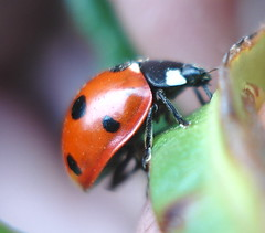 shes a lady (derpunk) Tags: red black home nature animal lady bug garden friendly ladybug sweetie fav derpunk sheisstillhere photodotocontest1