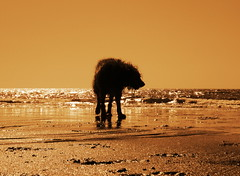 My sea lion...................... (ANDI2..) Tags: uk sea dog pet beautiful sepia wow wonder oscar mutt searchthebest noiretblanc 100v10f top20dogpix cumbria pooch photodotocontest1