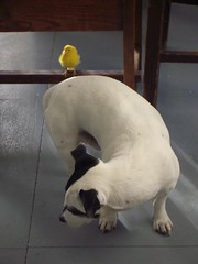 (pipapiep) Tags: dog bird animals canary balloo