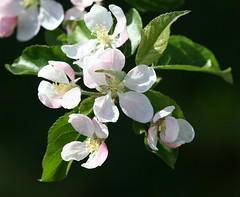 Apple Blossoms from our Gala tree (jodi_tripp) Tags: white flower blossom allrightsreserved appletree 1on1 myyard 200mmlens 1on1flower joditripp wwwjoditrippcom photographybyjodtripp joditrippcom