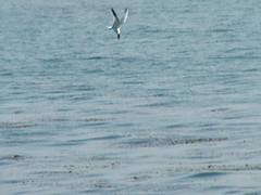 going in for the kill (I, Puzzled) Tags: ocean california sea santacruz birds coast fishing hunting attack diving 2006 april ipuzzled waterfowl tern seabirds 200604 westcliff plummet caspiantern sternacaspia 20060427 20060427186