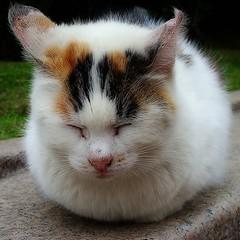 Cat Bun 猫まんじゅう (Masahiko Kuroki (a.k.a miyabean)) Tags: cat