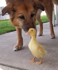 IT'S NOT EVERY DOG THAT WOULD TAKE A DUCK... (juwee1) Tags: dog pet bird animal duck duckling bruiser keesha waterfowl babyanimal pekinduck featheryfriday fowlfeatheredfriends duckspcc4u pcc4u