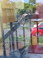 Reflections on Tiger (litlnemo) Tags: cats reflection window tabby tiger manx catsandwindows cc100