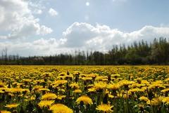nog paardebloemen (d_oracle) Tags: flowers yellow landscape landschap fcflds