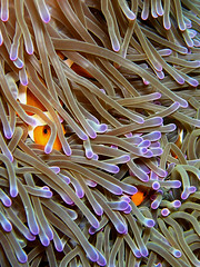 """..nemo stay in, the humans are dangerous!"" (Coppertane) Tags: animals yahoo bravo asia southeastasia underwater nemo purple quality scuba diving anemone malaysia favourite weeklysurvivor animalplanet aur dayang c5060wz coppertane"