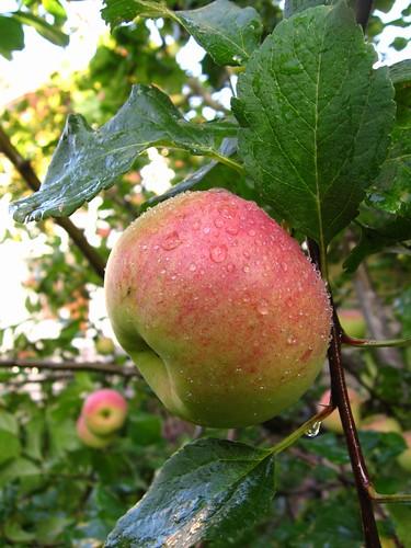 Apples - Foto: Jonas, Creative Commons License