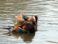 IMG_37391 (Gema VonSeka) Tags: duck mandarinduck tlnlahti aixgalericulata tlbay