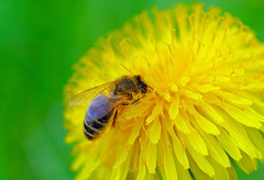 Diving honeybee (majamarko) Tags: flower macro green nature yellow closeup bug insect geotagged iso200 spring wings colorful searchthebest d70 nikond70 blossom dive dandelion bee top20macro pollen 60mm nikkor honeybee 1500 60mmf28dmicro f67 majamarko geotoolgmif specnature dailyvip geolat45961920 geolon14580789