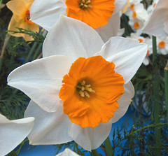 Orange/White Show Flower (JuanJ) Tags: uk flowers orange white flower art tag3 taggedout photoshop lumix europe tag2 tag1 cs2 unitedkingdom lovely1 panasonic daffodil harrogate fz fz30 payitforward judgementday46 harrogateflowershow awesomeblossoms