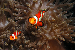 False Clown Anemone fishes (ScottS101) Tags: fish thailand nemo quality wildlife indianocean scuba diving clownfish anemone oneyear allrightsreserved anenomefish amphiprionocellaris animalkingdomelite copyrightscottsansenbach2008