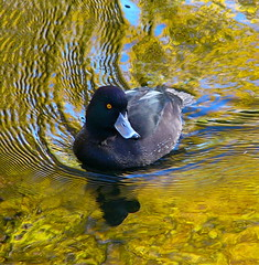 NEW ZEALAND SCAUP ( CHRISTCHURCH) (JAMES HALLROBINSON) Tags: newzealand rtw jamesrobinson