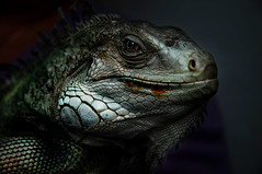 Night Of The Iguana (nailbender) Tags: ilovenature top20np 500v20f searchthebest reptile quality iguana scales topv777 top20hallfame nailbender itsongselection gtaggroup goddaym1 specanimal animalkingdomelite flickrplatinum diamondclassphotographer flickrdiamond bestofbestnature jdmckinnon
