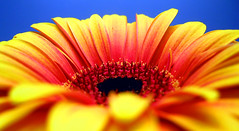 boom boom boom (JKnig) Tags: blue orange flower color yellow tag3 taggedout tag2 tag1 gerbera daisy oneyear gerberadaisy sosueme gratuitousdaisyshot apparentlytherereallyisasolsburyhillhowcoolisthat cmongethappy ilovetakingshotslikethisatworkwithmydinkylittlepointandshootinyourface20d