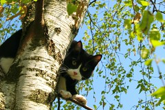 Getting up is the easy part.. (Dr. Hemmert) Tags: pet tree cute animal cat kitty tuxedo birch