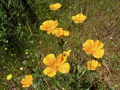 20060507 Poppies