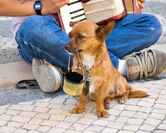 Little Man (Troy Holland) Tags: dog portugal topf25 1025fav interestingness nikon 500v20f sad searchthebest d70 lisboa lisbon 1870mmf3545g top20dogpix busker 1on1 chiuaua thecontinuum interestingness453 2for2 chichacha nikonstunninggallery