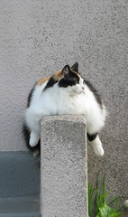 Sumo cat (Dill Pixels (THE ORIGINAL)) Tags: california pet santacruz pets house cute home topf25 topv111 cat wow giant town big topv555 topv333 500v20f suburban fat gray topv444 steps suburbia large topv222 abundant gato porch calico huge topv777 fatcat titanic chubby heavy topv666 plenty housecat leviathan obese grotesque 1000views enormous overflowing bric