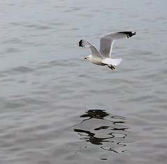 Flying Low (Sharon Mollerus) Tags: lake reflection bird water flying seagull 50v5f 123nature 2for2 lovephotography 1on1nature 123faves co10