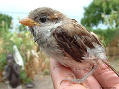 -Sparrow- (Vt Hassan) Tags: bird nature birds animal animals sudan sparrow