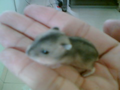 Little One (kaikiang) Tags: hamsters