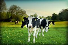 Cow lomo no.5 - by Skinnyde