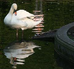 Swan, Dublin (C) 2006
