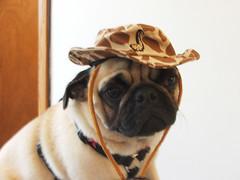 Indiana Pug (antsville) Tags: dog chicago cute puppy toy michael george cowboy funny sad apartment pug indiana safari precious breed pathetic