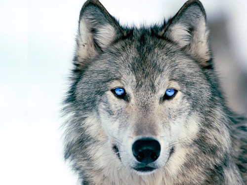 Mount Shasta Wolf Pack - OPEN TO ALL 148292918_266dec39e8