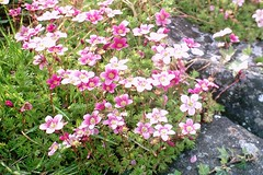 Little pink cuties (Vratsagirl) Tags: flowers ireland spring fresh greens gardentreasures vratsagirl