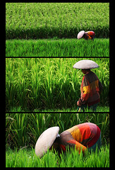 Whispers in the Field: Triptych (javajive) Tags: bali green indonesia triptych ricefields ubud javajive balinese brandonhoover