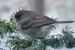 Snowbird (Clyde Barrett) Tags: canada newfoundland junco nl northern nfld snowbird darkeyed slatecoloured clydebarrett