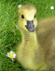 The baby goose close up (Suzanne takes you down) Tags: baby cute smile spring goose canadagoose brantacanadensis happyfeatheryfriday bernacheducanada berniklakanadyjska kanadanhanhi canadags grotecanadesegans
