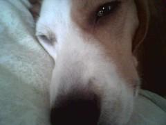 Gypsy (kamelotsbigfan) Tags: dog brown love beagle tag3 taggedout inmemory kiss tears tag2 tag1 crying poke hugs miss gypsy beloved gypsycourtneybeagledogmissedgone