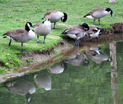 nature's mirror (Dailyville) Tags: ohio water tag3 taggedout reflections geese tag2 tag1 preening chillicothe yoctangee featheryfriday thecontinuum lovephotography dailyville specnature