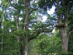 Accrobranche - Sainte Assise 77 (Mr~Poussnik) Tags: trees oak arbres treeclimbing accrobranches chne sainteassise