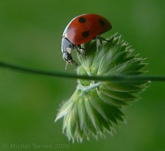 Ladybird (zogt2000 (No Video)) Tags: france green spring ladybird coccinelle iloveit specanimal