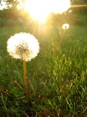 dandelions have Halos (b.Loff) Tags: light sunset halo corona sixmilecreek dandelions
