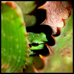 hide and seek (kiplingflu) Tags: sardegna cactus italy green love nature ilovenature italia sardinia favme pins frog hidden i500 sardini