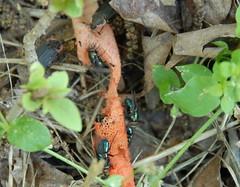Fly on stinkhorn ( Paul_Gallian ) Tags: mushrooms fly fungi stinkhorn fairyfood